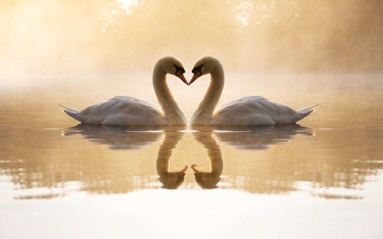 4178216-loving-swans